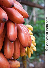 Bananas Or Plantains - A cluster of ripening bananas or...