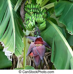 Bananas Ripening on the tree With Banana Flower