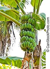 banane, bündel