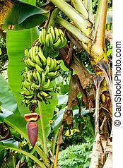 banane, crescente, in, il, giungla, su, isola taveuni, figi