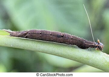 Bananenfalter (Caligo Eurilochus) - Caterpillar of a Forest ...