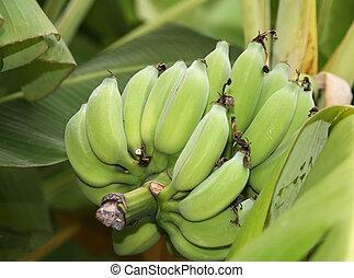 bananer, på, træ