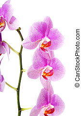 banch, de, orquídea, flor