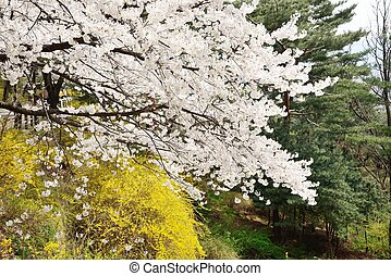 Banch of  Korean cherry blossoms in full bloom