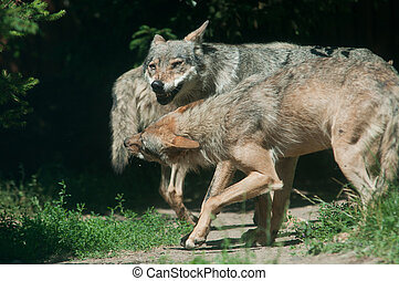 Band of Timber Wolf (Canis lupus)