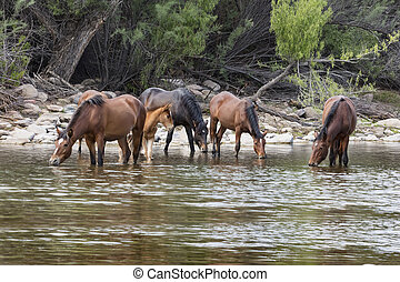 Band of wild horses in the river - Wild Horses live along ...
