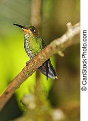 Band-tailed Barbthroat Hummingbird, Costa Rica