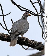 Band-tailed Pigeon (Patagioenas fasciata) juvenile in Pine ...
