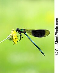 banded,  agrion,  Damselfly
