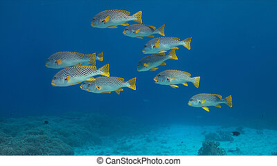 banded, arrecife, coral, sweetlips, diagonal