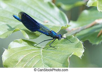 banded, demoiselle, (calopteryx, splendens)