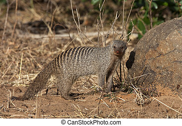 A Banded Mongoose (Mungos mungo) in Chobe National Park in Botswana.
