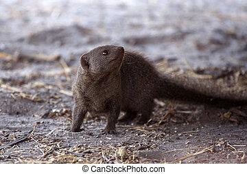 Banded Mongoose - Chobe N.P. Botswana, Africa