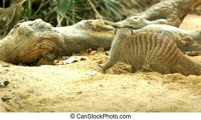 Banded mongoose digging the ground