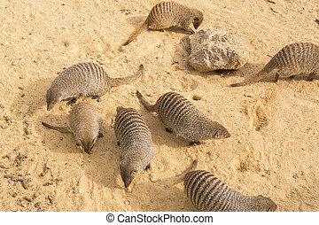 Banded mongoose family, Mungos mungo