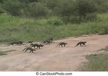 Banded Mongoose with pup in Tarangire National Park Tanzania...