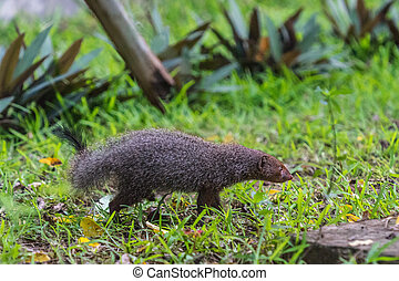 Banded mongoose (Mungos mungo colonus). Wild life animal.