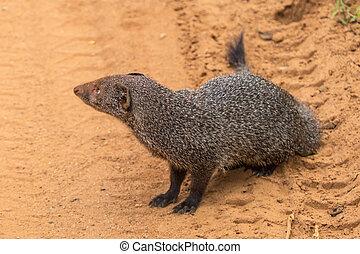 Banded mongoose (Mungos mungo colonus). Wild life animal....