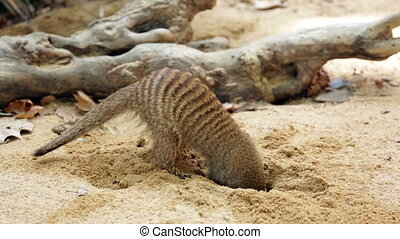 Banded mongoose (Mungos mungo) digging the ground