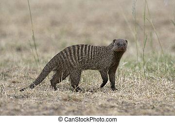 Banded mongoose, Mungos mungo