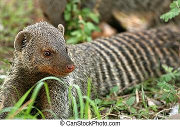 Banded Mongoose - Tanzania, Africa - Lake Manyara National...
