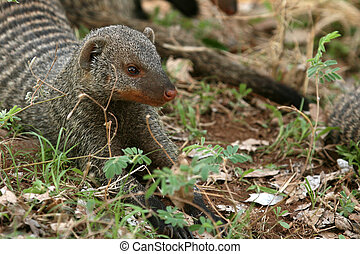 Banded Mongoose - Tanzania, Africa