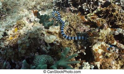 Banded Sea Snake. - Sea snake on coral reef. Banded Sea...