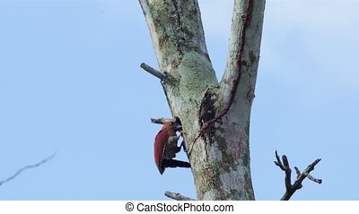 Banded Woodpecker - Banded wood pecker pecking on ants on a...