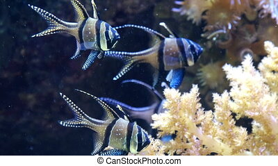 banggai island cardinal fish brilliant striped eye blue...