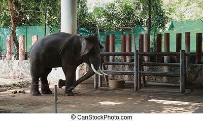 bangkok, aimer, danser., enchaîné, grand, éléphant, zoo, pillar., dusit, en mouvement, animal, africaine, thailand., intelligent