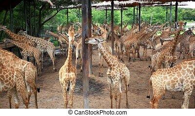 bangkok, girafes, troupeau, park., thailand., safari, hd.,...