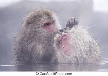 banhar-se, macaco, hotspring, jigokudani, onsen, neve,...