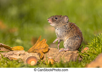 Bank vole in natural autumn habitat - Wild Bank vole (Myodes...