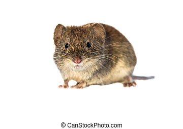 Bank vole looking on white background