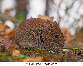 Bank vole sideview - Bank vole (Clethrionomys glareolus) ...