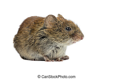 Bank vole sideview on white background