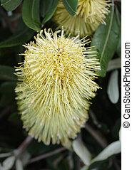 banksia, fiore
