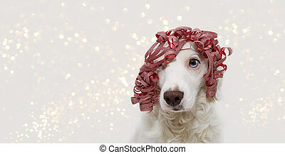 Banner dog celebrating christmas, birthday, new year or carnival party wearing a red ribbon present like wig. isolated on white background.