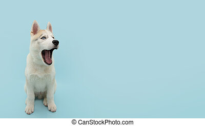 Banner funny siberian husky puppy dog openning its mouth. Isolated on blue colored backgorund.