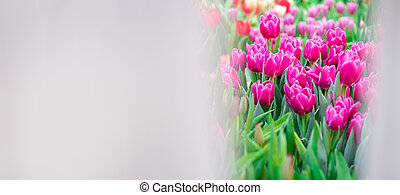 Banner mock up pink tulip. Group of colorful flowers.. Soft selective focus