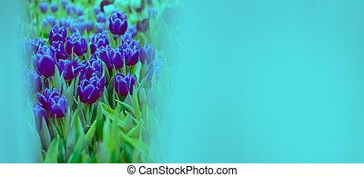 Banner mock up pink tulip toned blue. Group of colorful flowers.. Soft selective focus