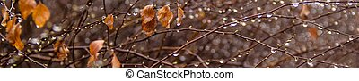 Banner of Branches of birch with earrings in raindrops on a background