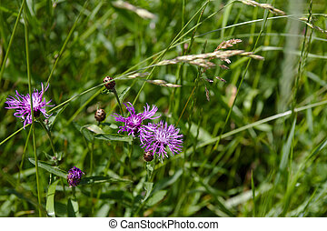 Banner of Thistle buds and flowers on a summer field