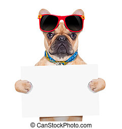 fawn french bulldog holding a white blank banner or placard, on holidays, isolated on white background