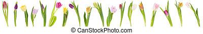 banner, von, tulpen