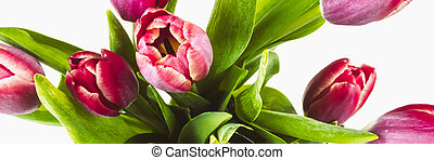 Banner with pink tulips on a white isolated background