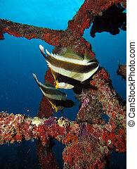bannerfish, 2, 優勝旗