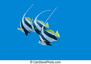 bannerfishes in tropical sea, underwater