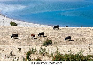 banques, bétail, pâturage, lac, hawea