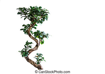Bansay tree on a white background